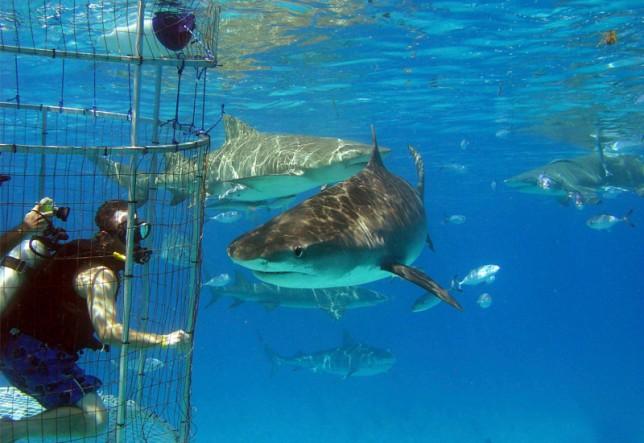 Shark Ecotourism Isla Guadalupe