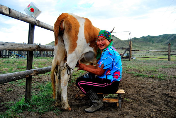 Tuva woman and her cow