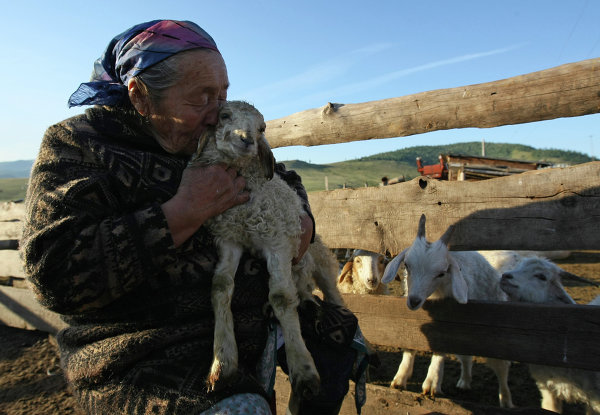 Tuva Woman And Her Sheep Pre Tend Be Curious