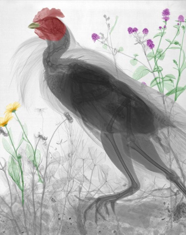 chicken X-ray