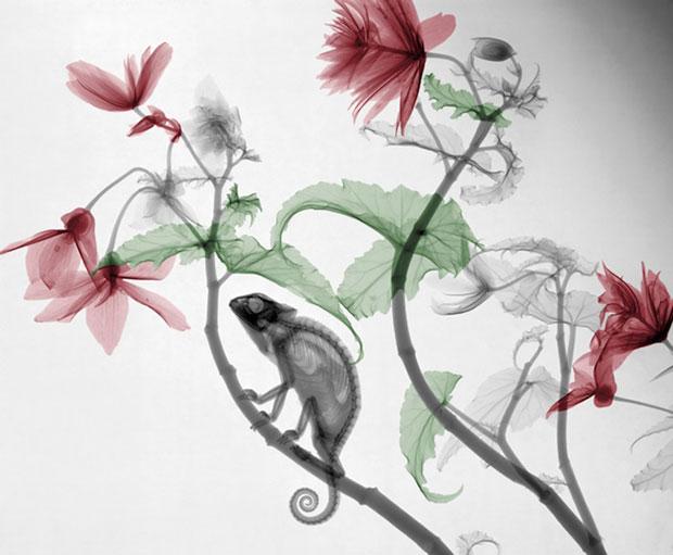 hameleon-on-a-flower x-ray