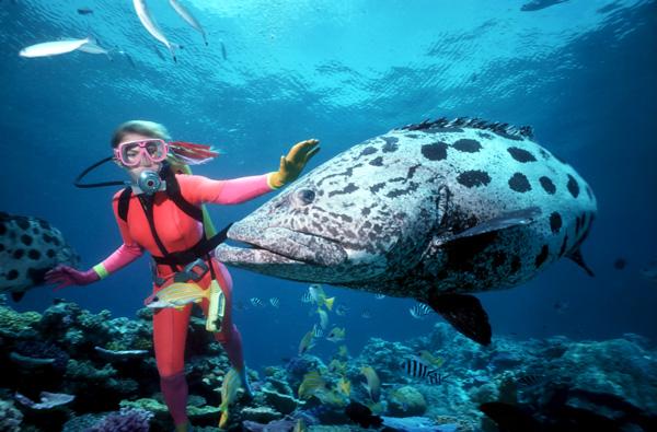 Great Barrier Reef Potato Cod