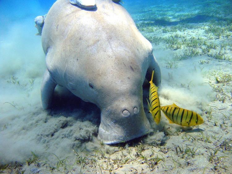 Great Barrier Reef Dugong