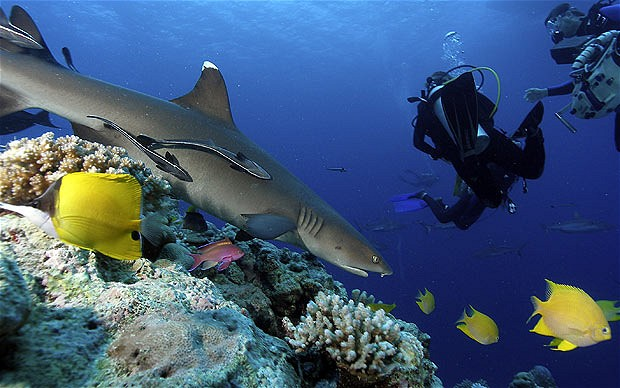 Great Barrier Reef divers and shark