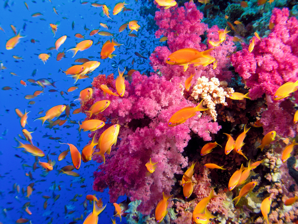 Great Barrier Reef orange fishes on pink corals