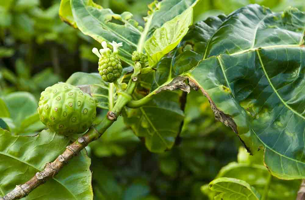 Noni fruit tree and flower