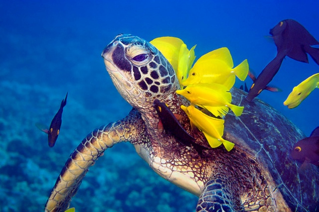 lizard_island_turtle with yellow fishes