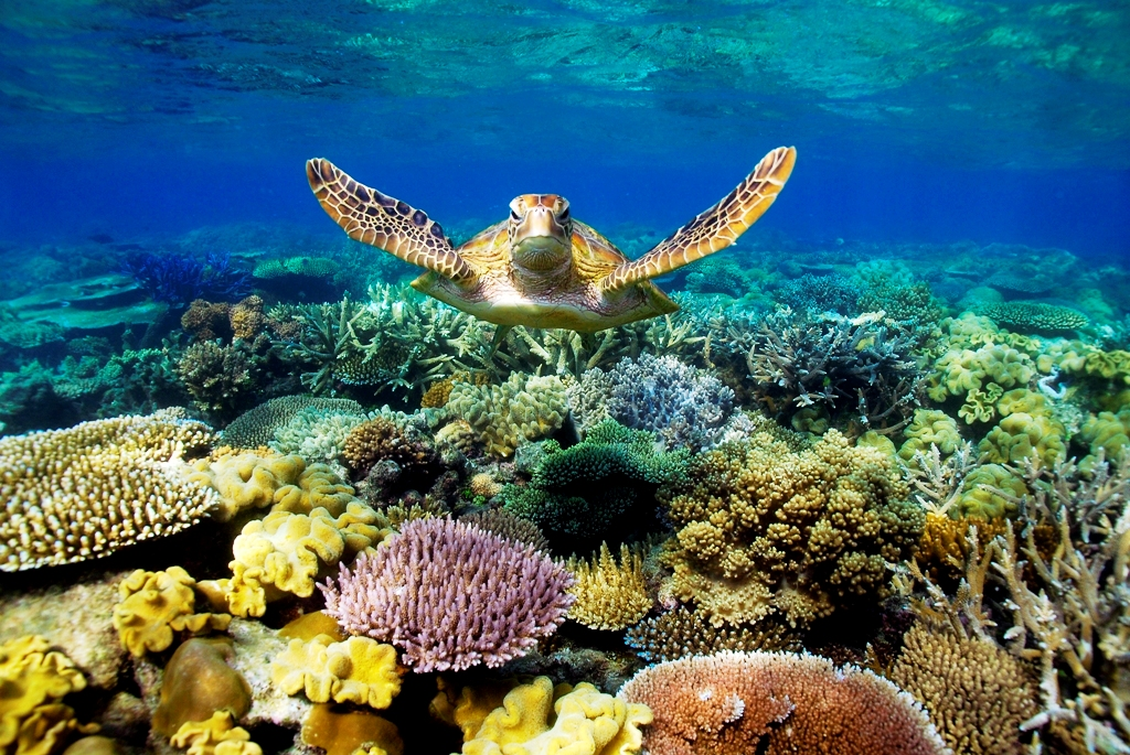 turtle in Great Barrier Reef