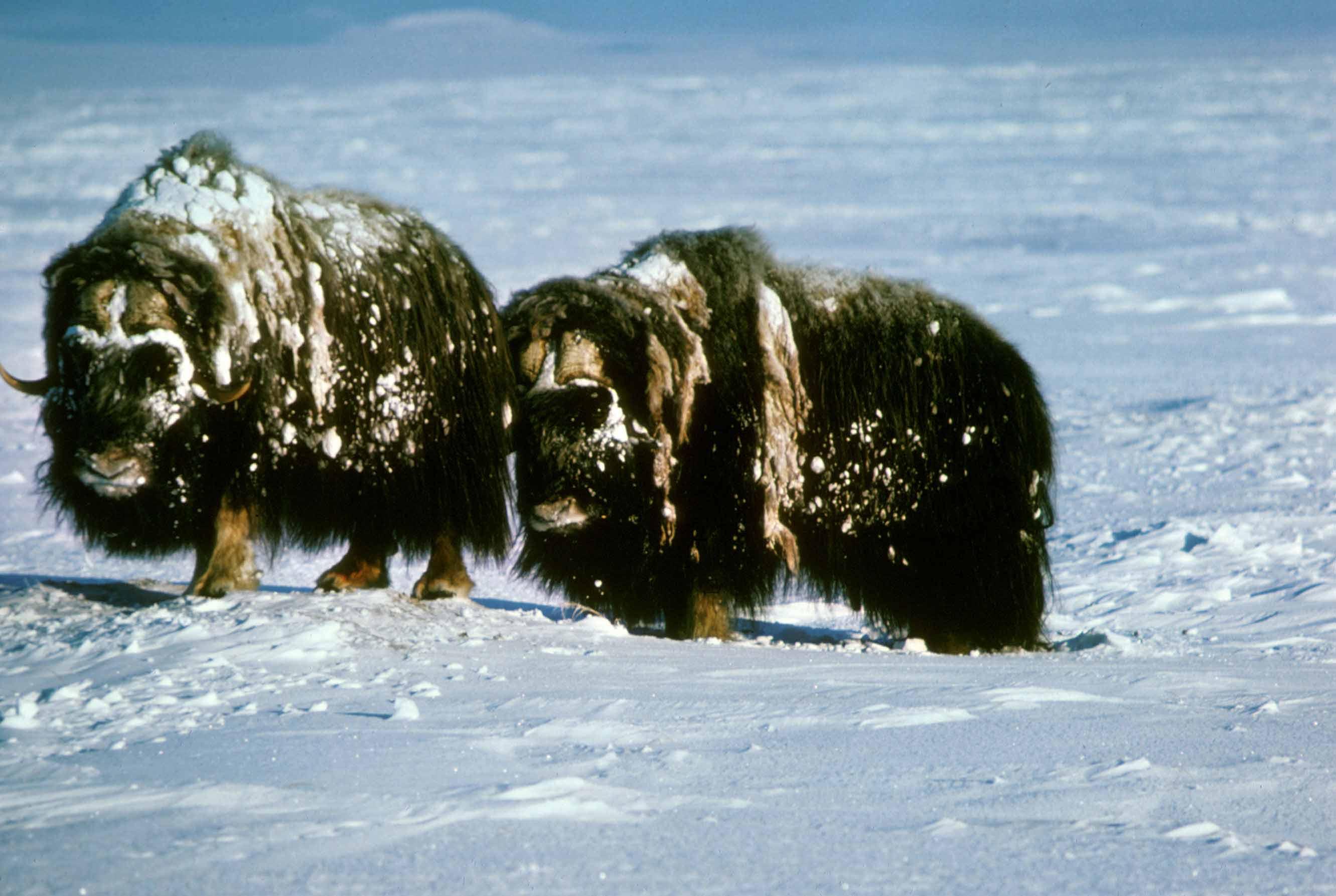 Arctic-Musk-Oxen