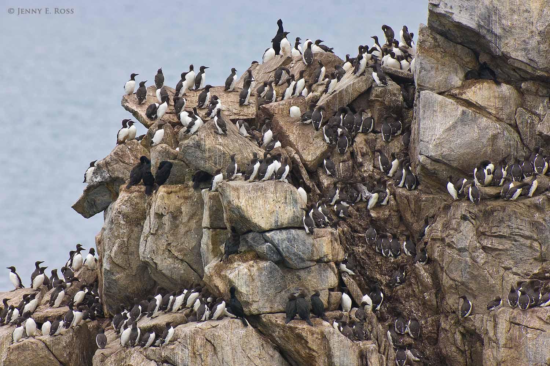 a huge cliffside seabird colony