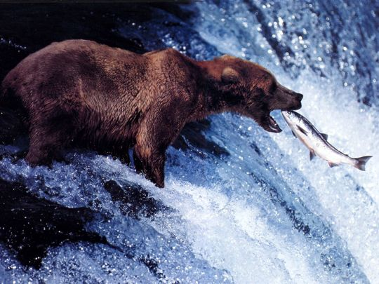 Bear catches Salmon