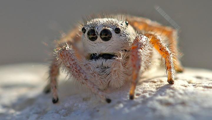 Everest Mountain Spider