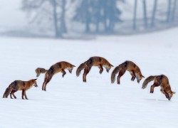 Red Fox Hunting her prey under snow