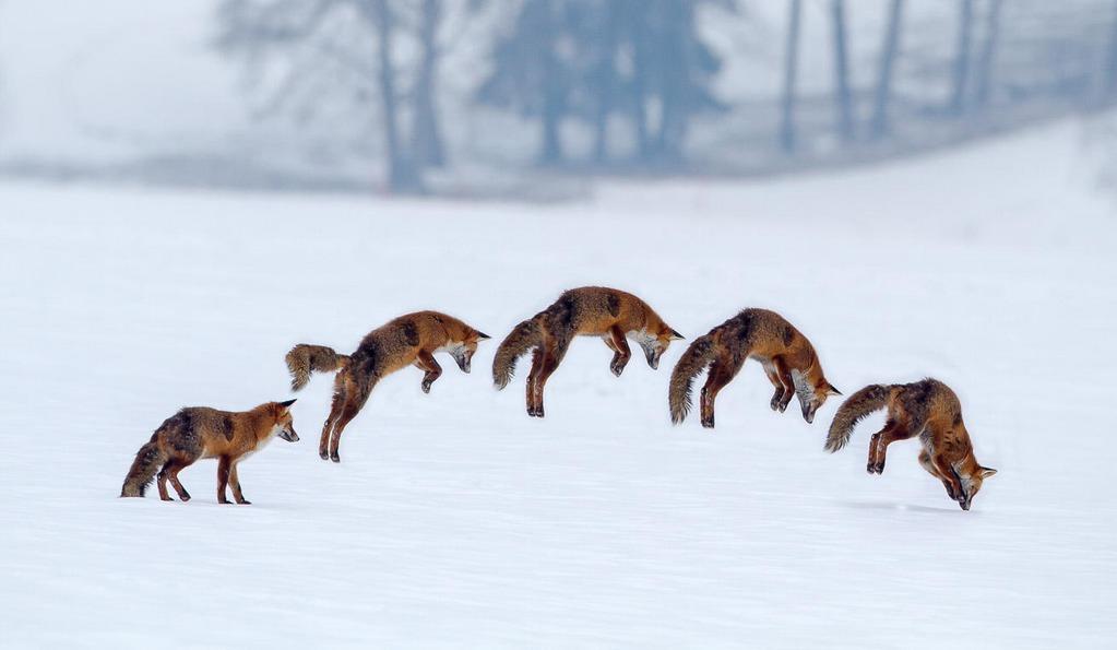 Red Fox Hunting her prey under snow