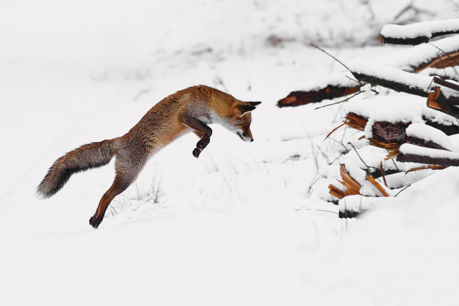 Red Fox Hunting on Snow