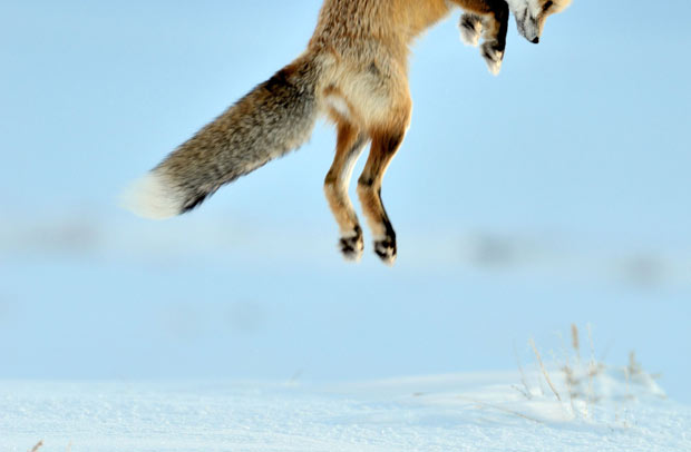 Red Fox jumping to catch her prey
