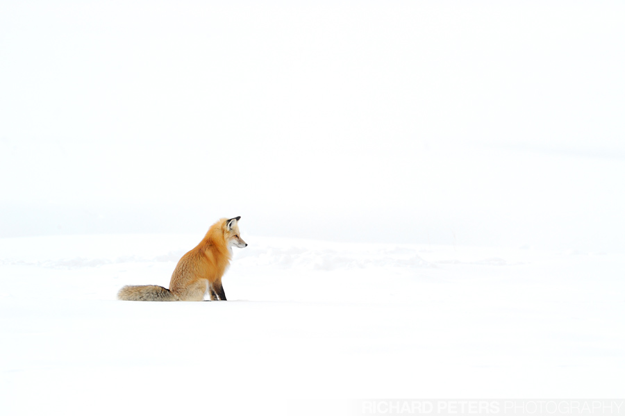 Red Fox sitting on Snow hunting