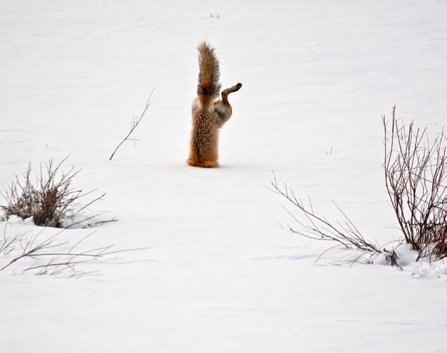 Red fox under snow hunting
