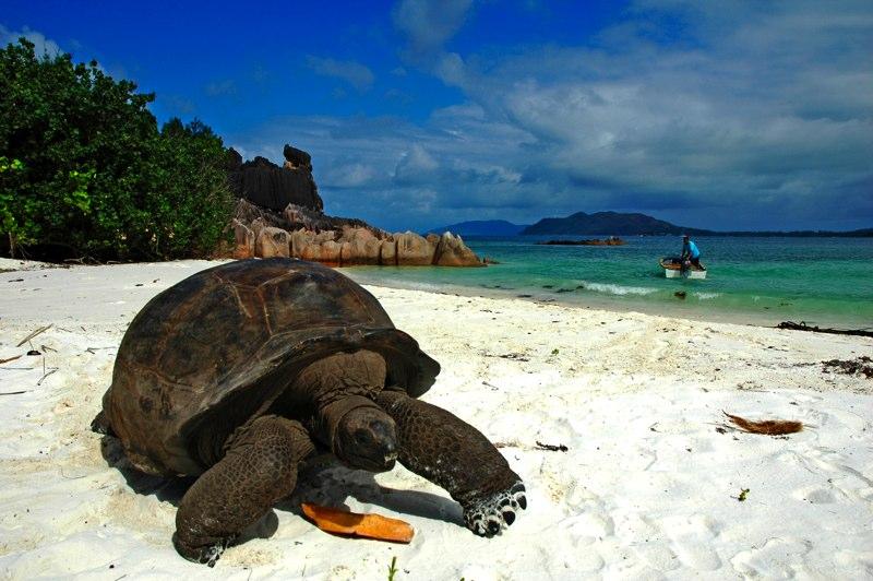 Seychelles Huge Turtle on the Beach