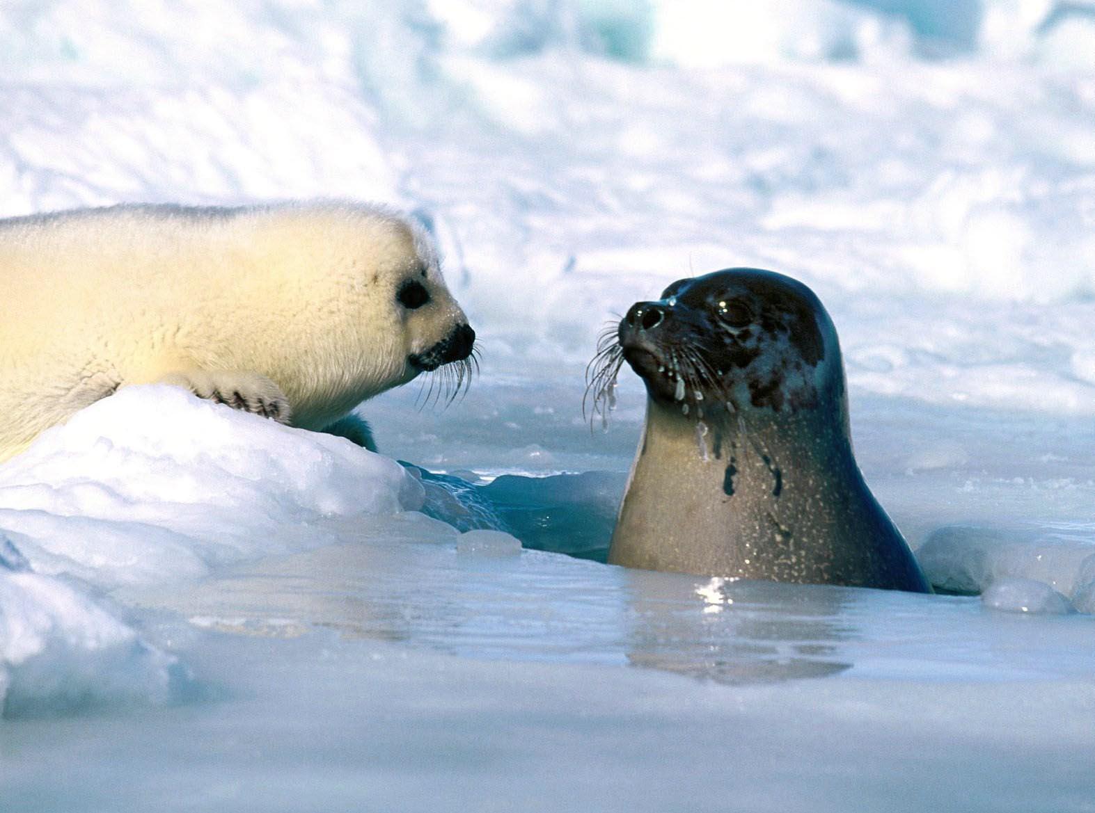 harp arctic seals