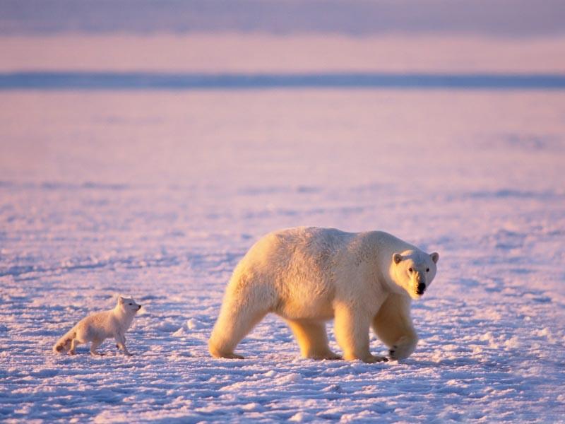 polar bear cub and arctic fox