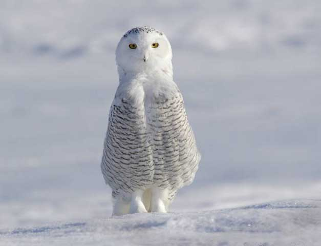 white arctic owl