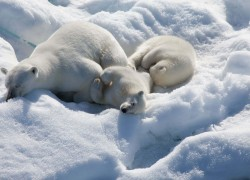 Arctic white Polar bears