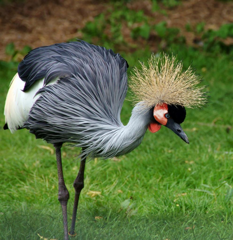 African Grey Crowned Crane - Crowned crane