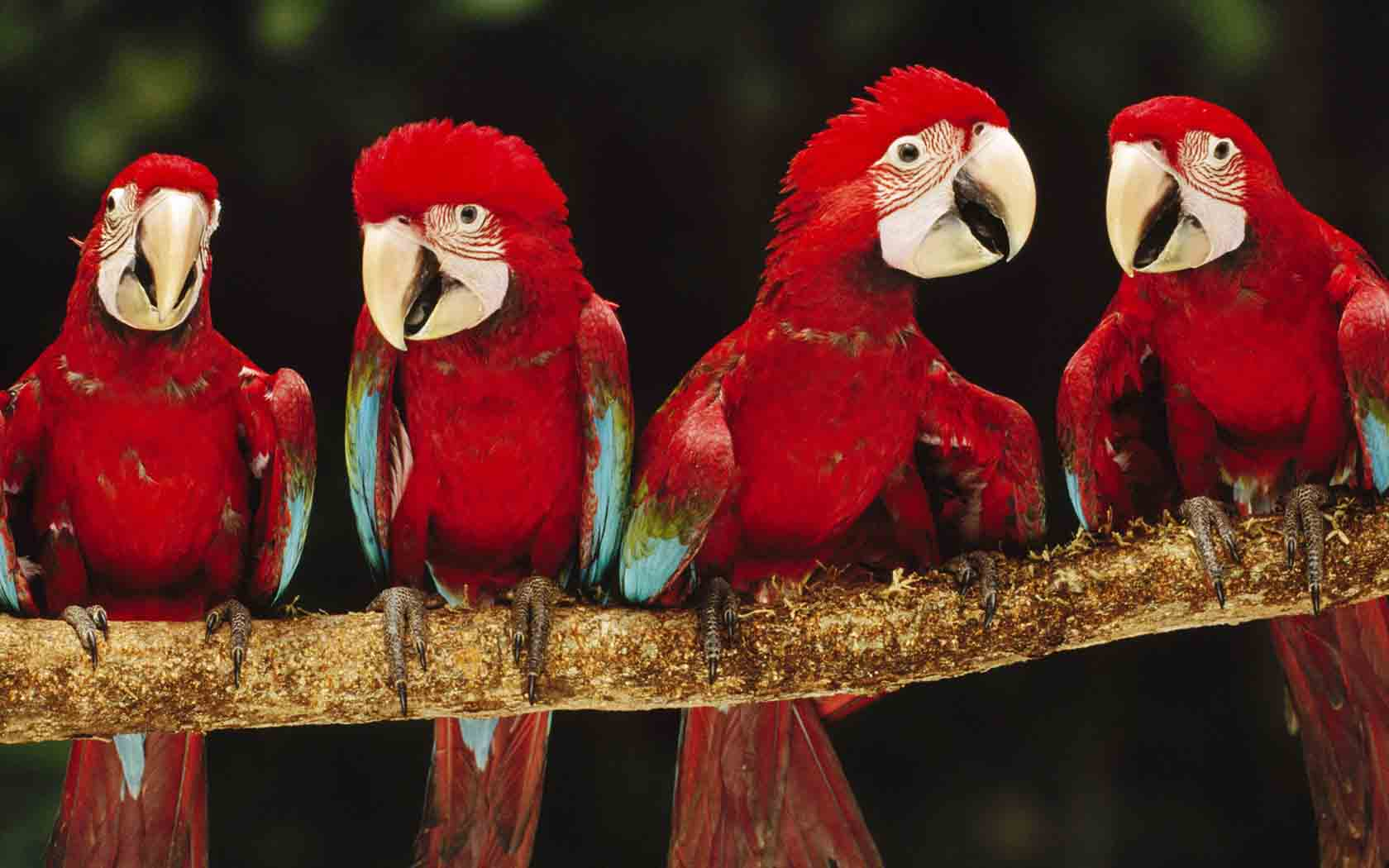 Animals Birds Red macaw