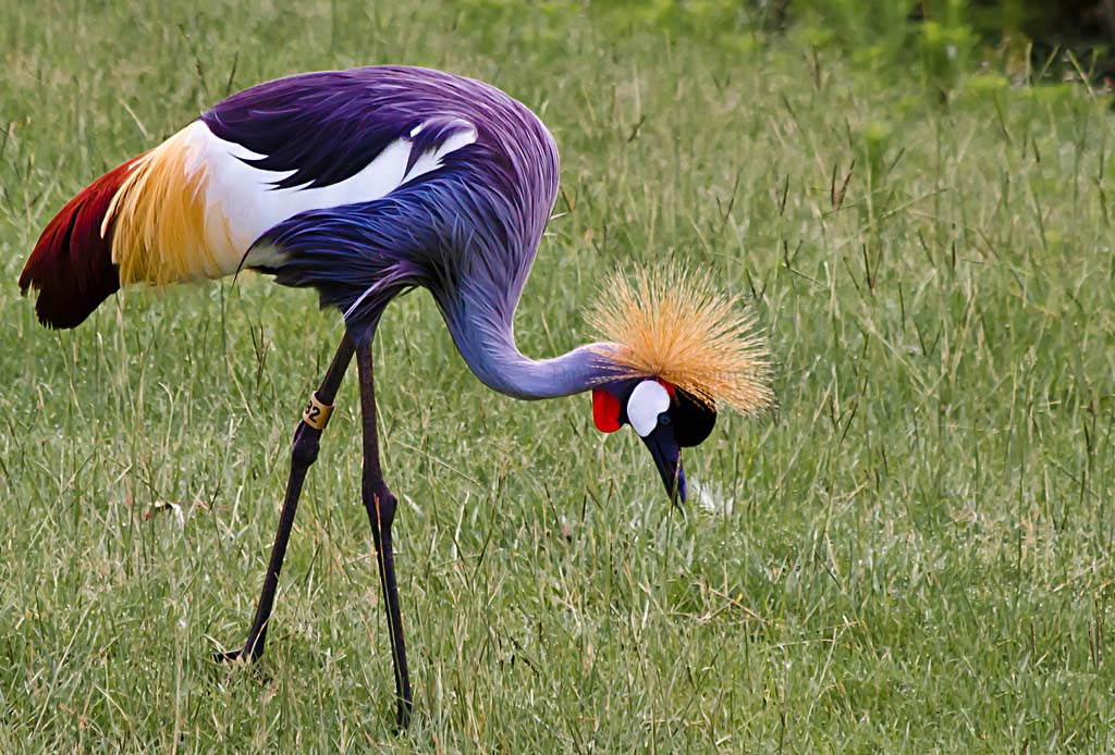 African crowned crane - photo#19