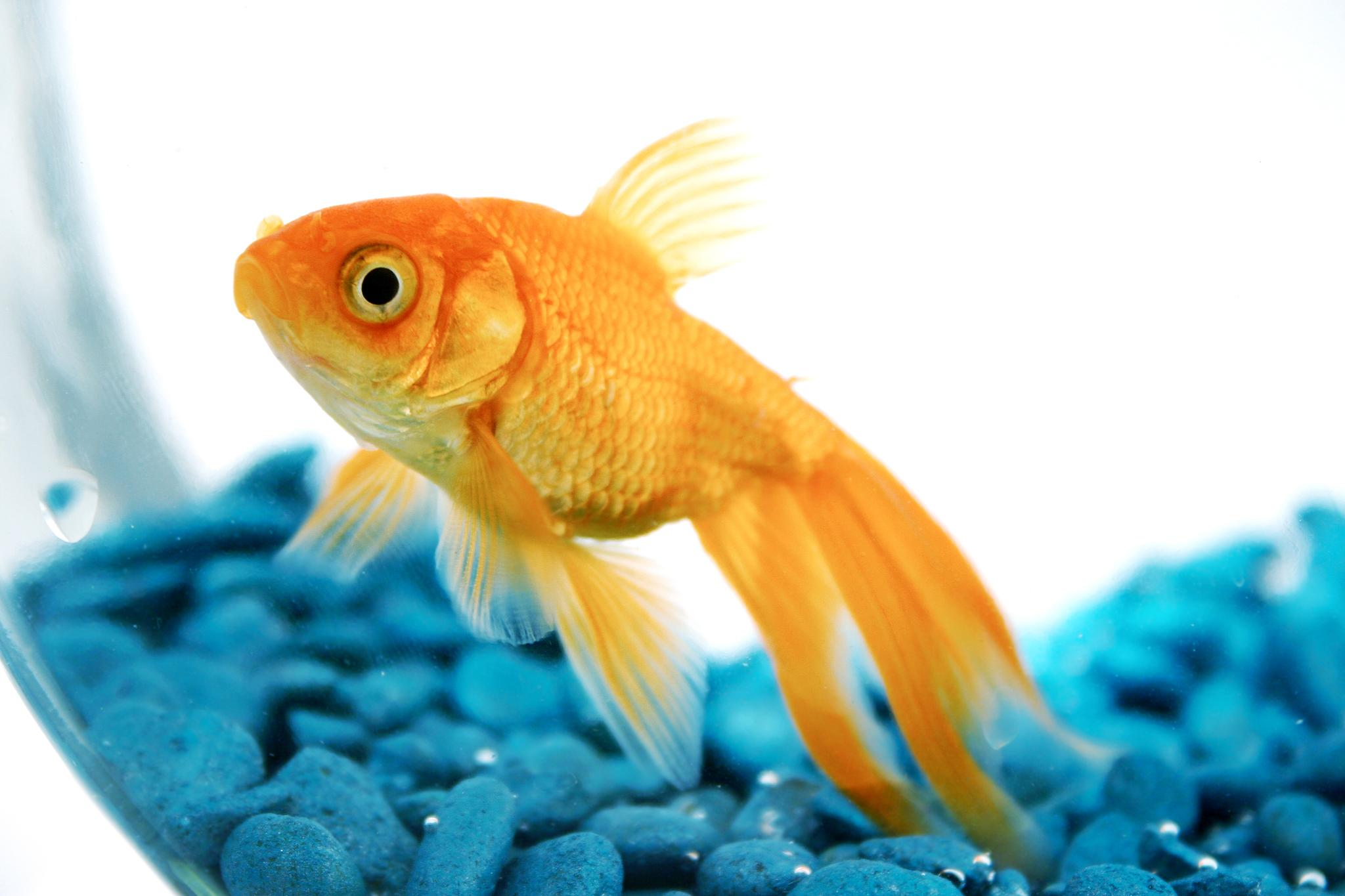 Goldfish have a pretty good memory myths
