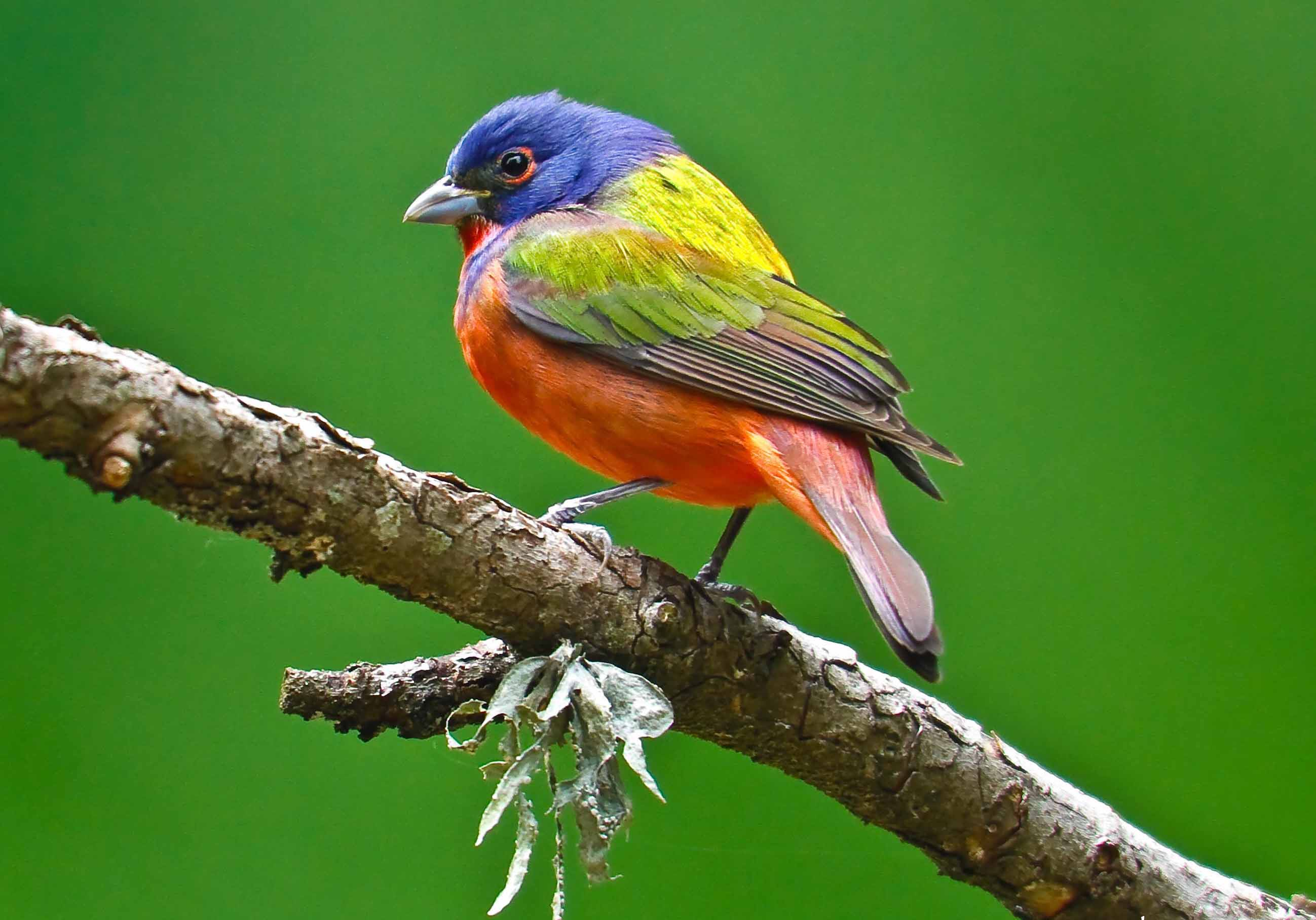 Painted Bunting on a tree