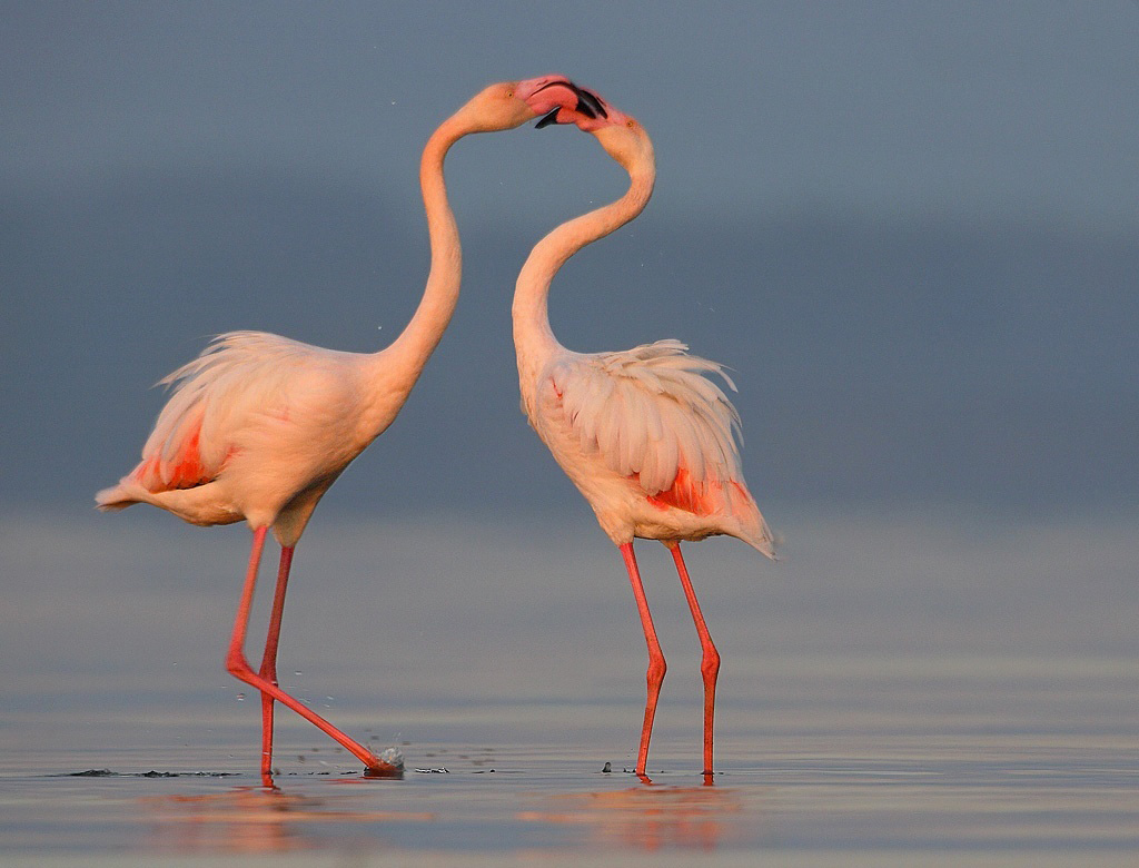Pink flamingo love couple