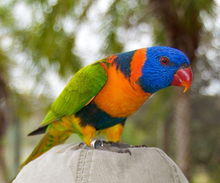 Rainbow lorikeet bird 1