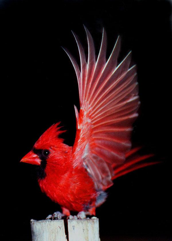 Red cardinal