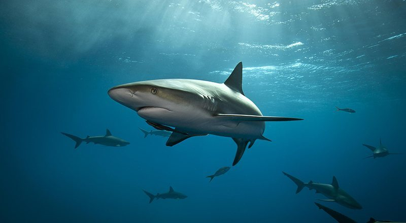 Sharks get cancer myths
