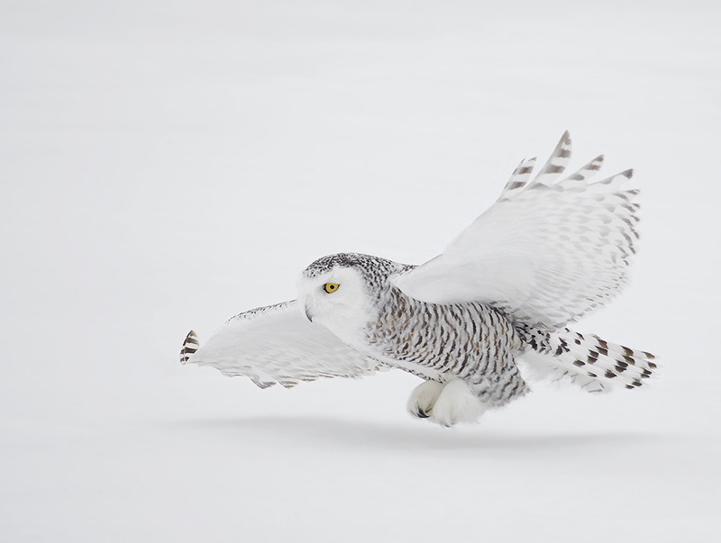 Snowy female owl flying