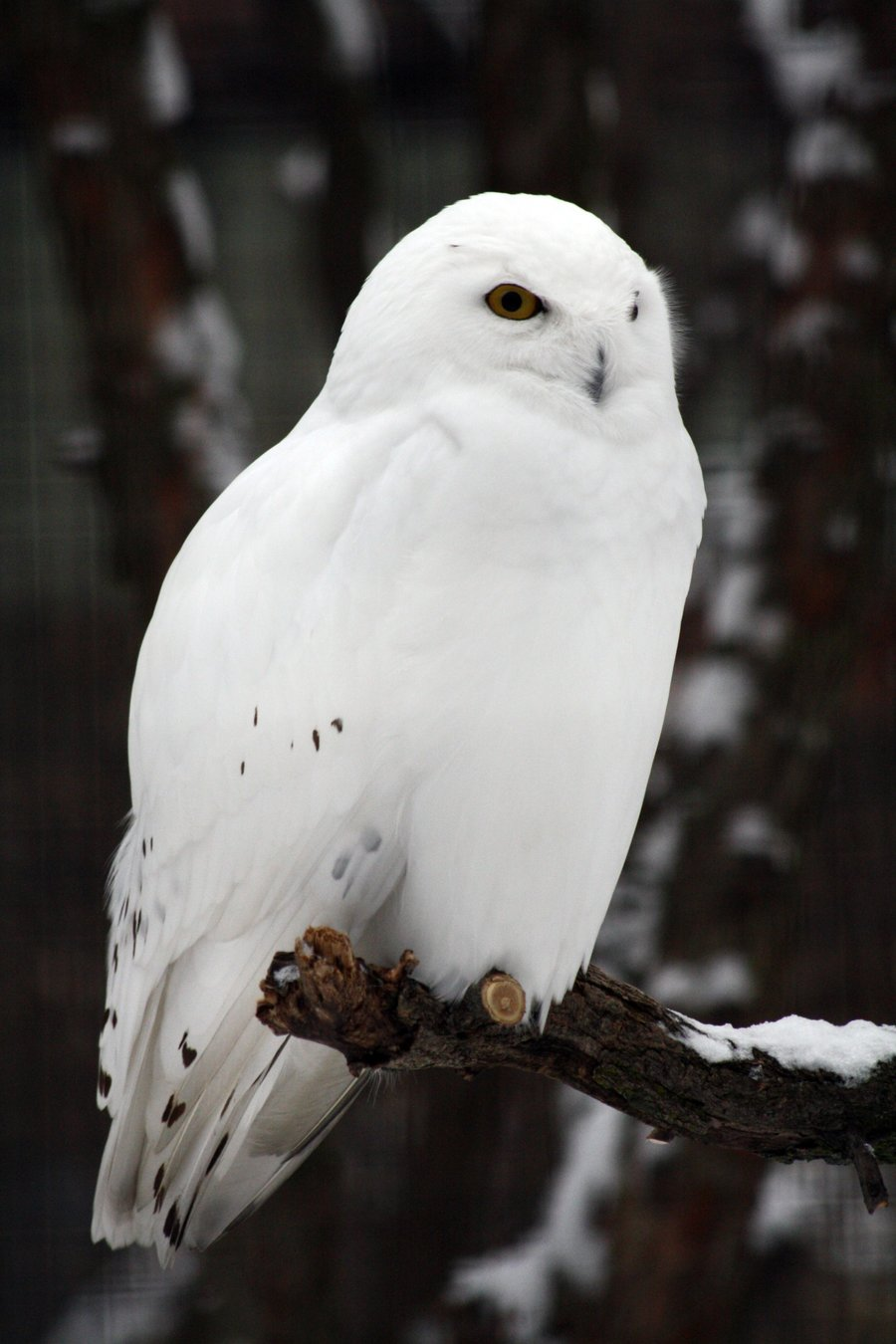 Snowy male owl on a branch