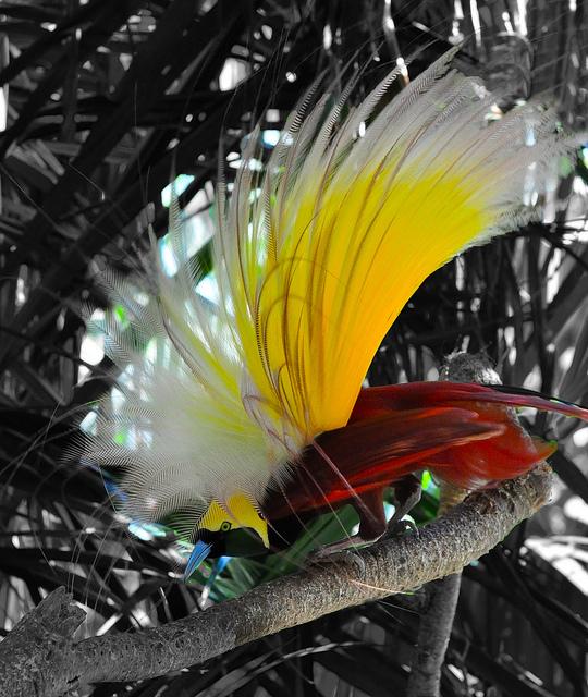 bird Bird of paradise of Bali