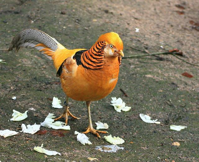 bird gold pheasant 1