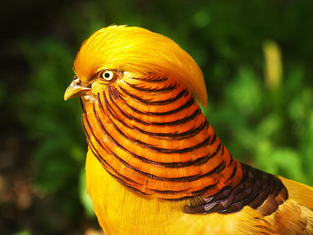 bird gold pheasant