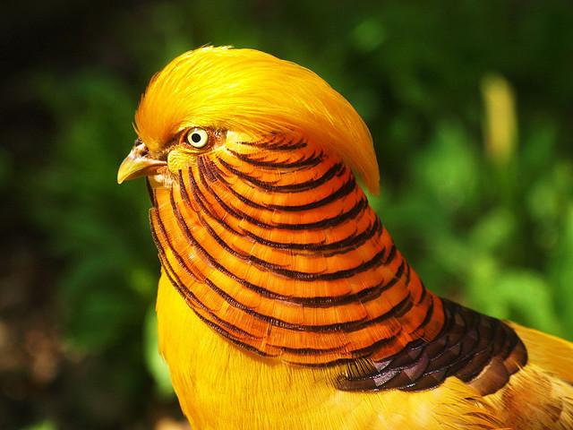 bird gold pheasant