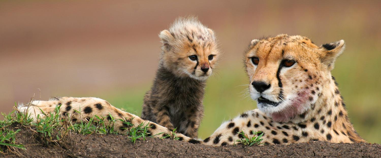 great migration in Serengeti leopard
