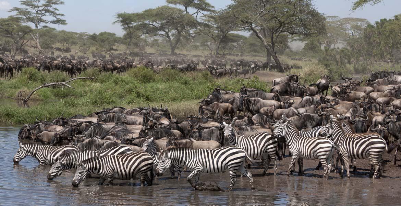 great migration in Serengeti zebras