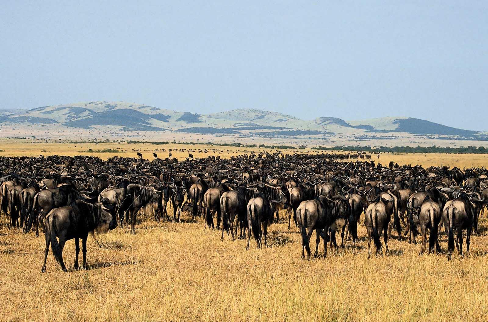 great migration in Serengeti