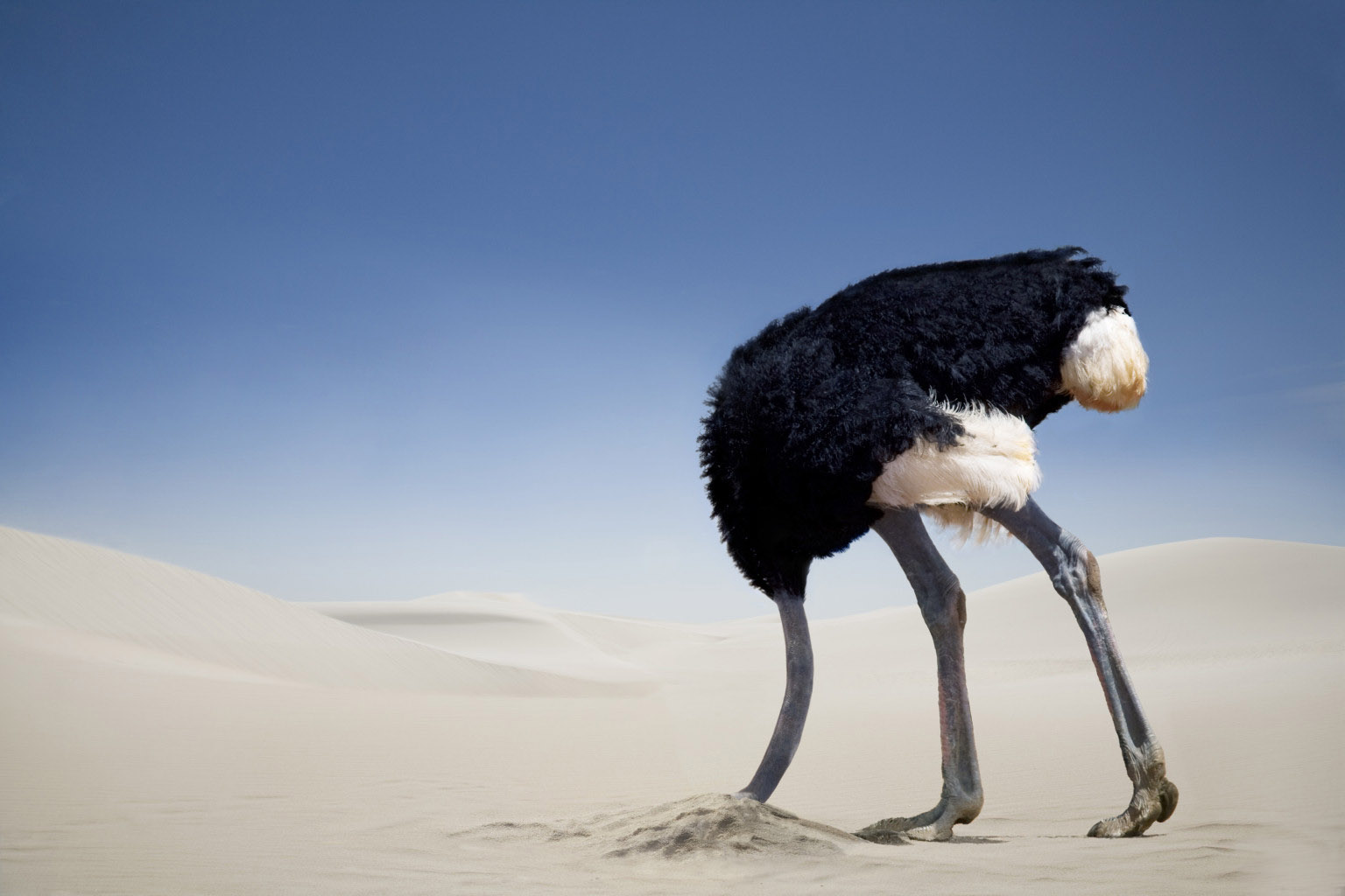 ostrich head in sand Ostriches not stick its head in the sand when in danger myths