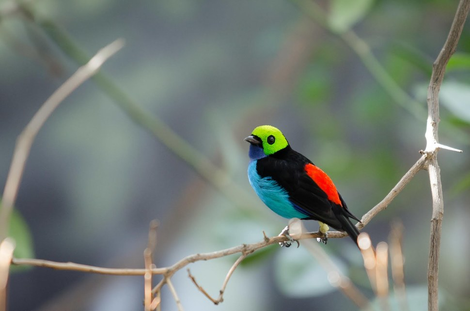 paradise tanager on a branch