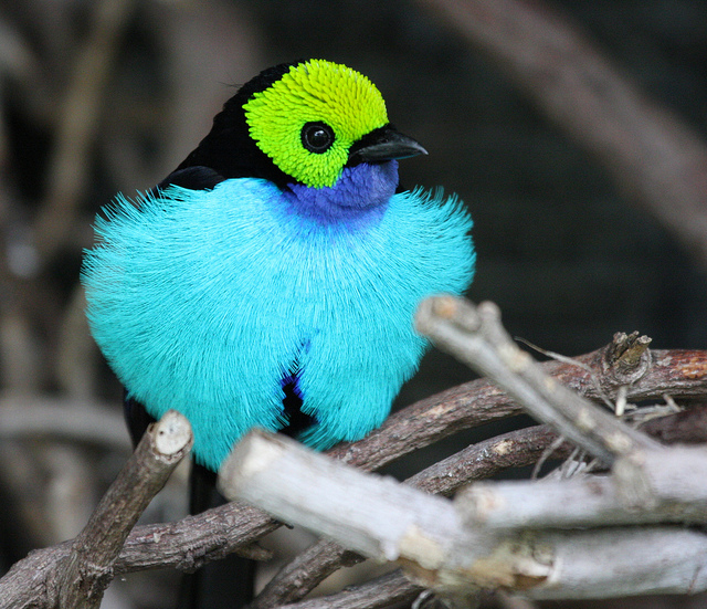 paradise tanager on a tree