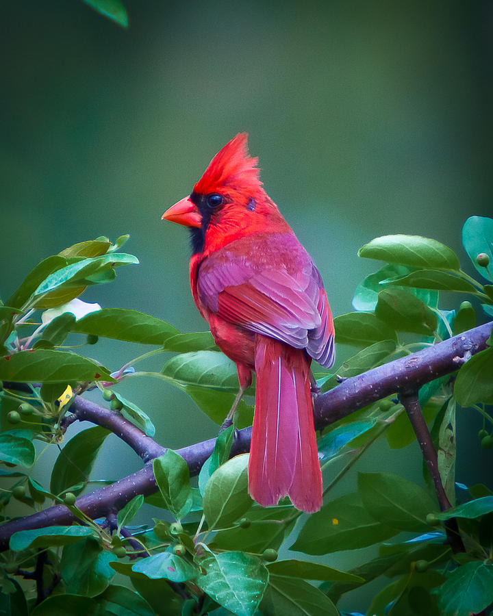 red-cardinal-on-branch