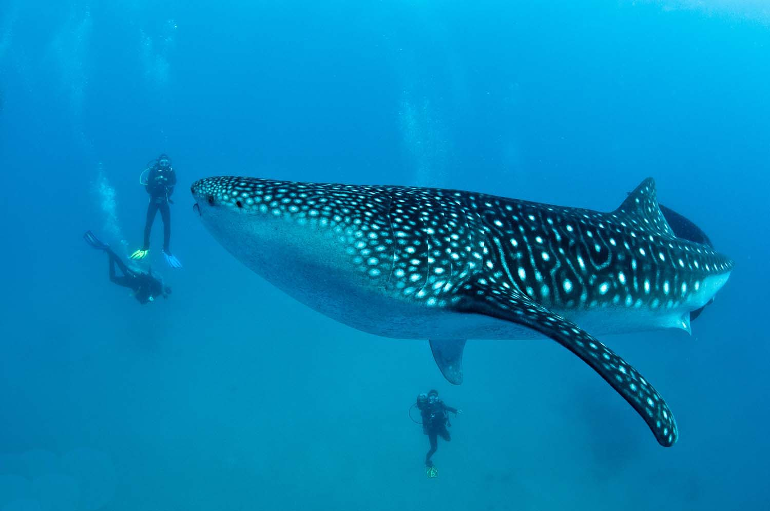 whale sharks in Donsol Bay